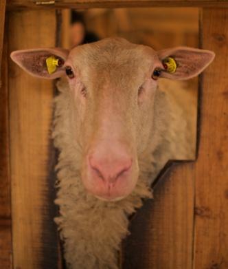 Schaf-und Ziegenfarm